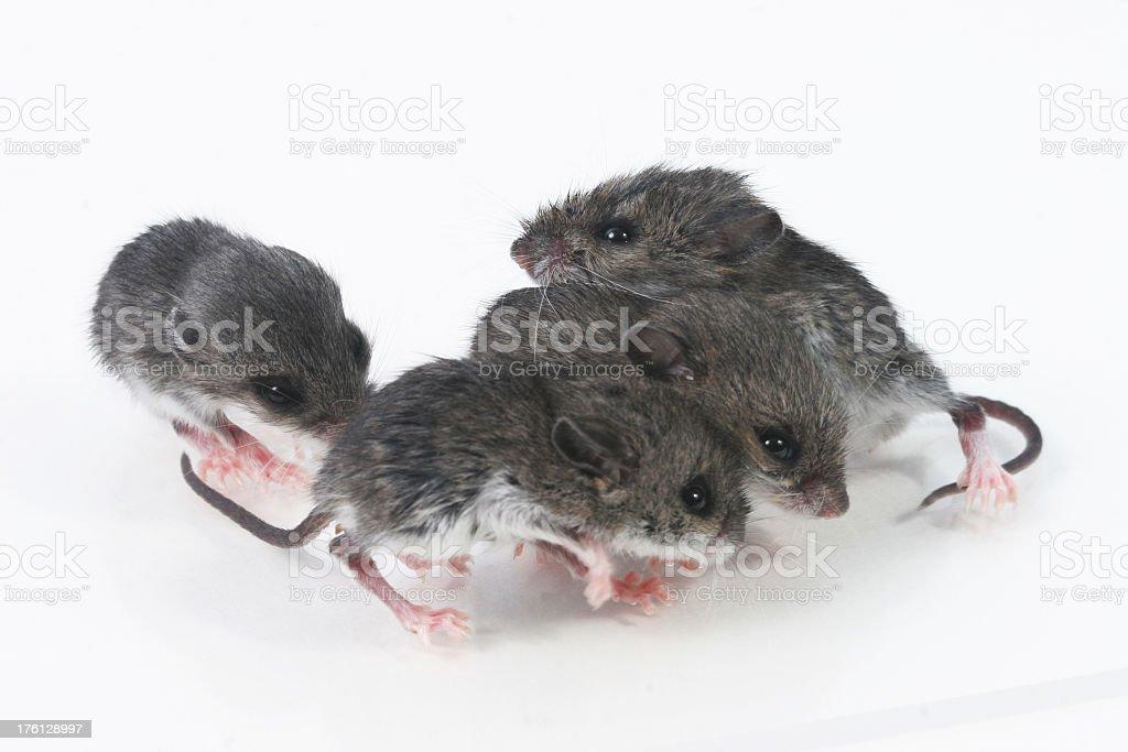 Baby field mice royalty-free stock photo