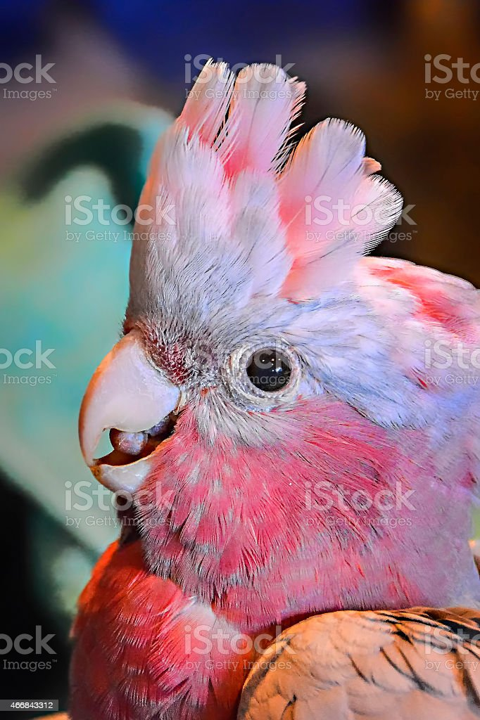 Baby Galah stock photo