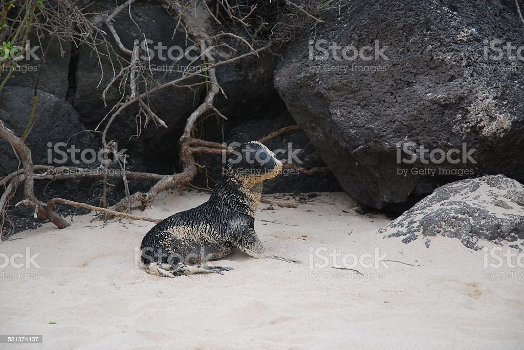 Baby Galapagos Sea Lion posing on the Beach royalty-free stock photo