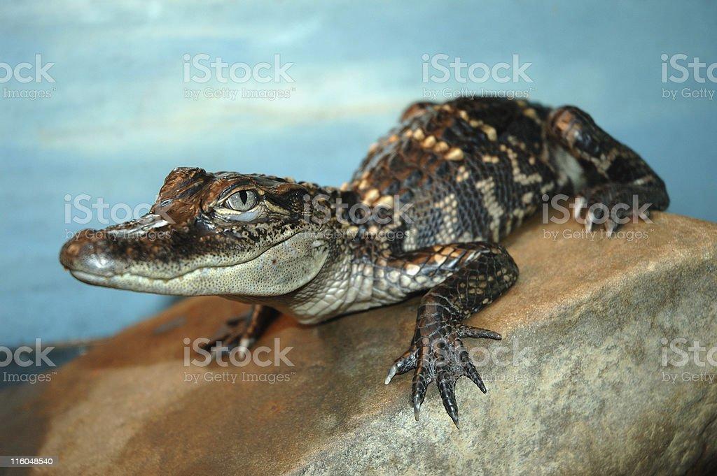 Baby Gator royalty-free stock photo