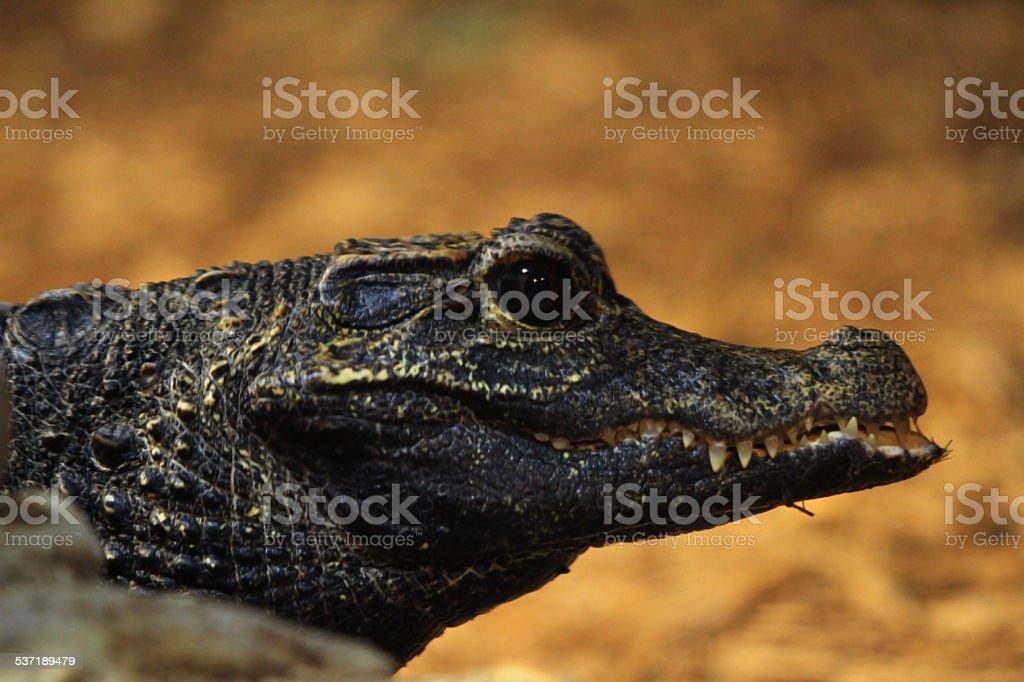 Baby Gator stock photo