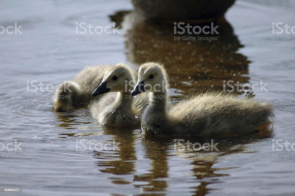 baby geese royalty-free stock photo