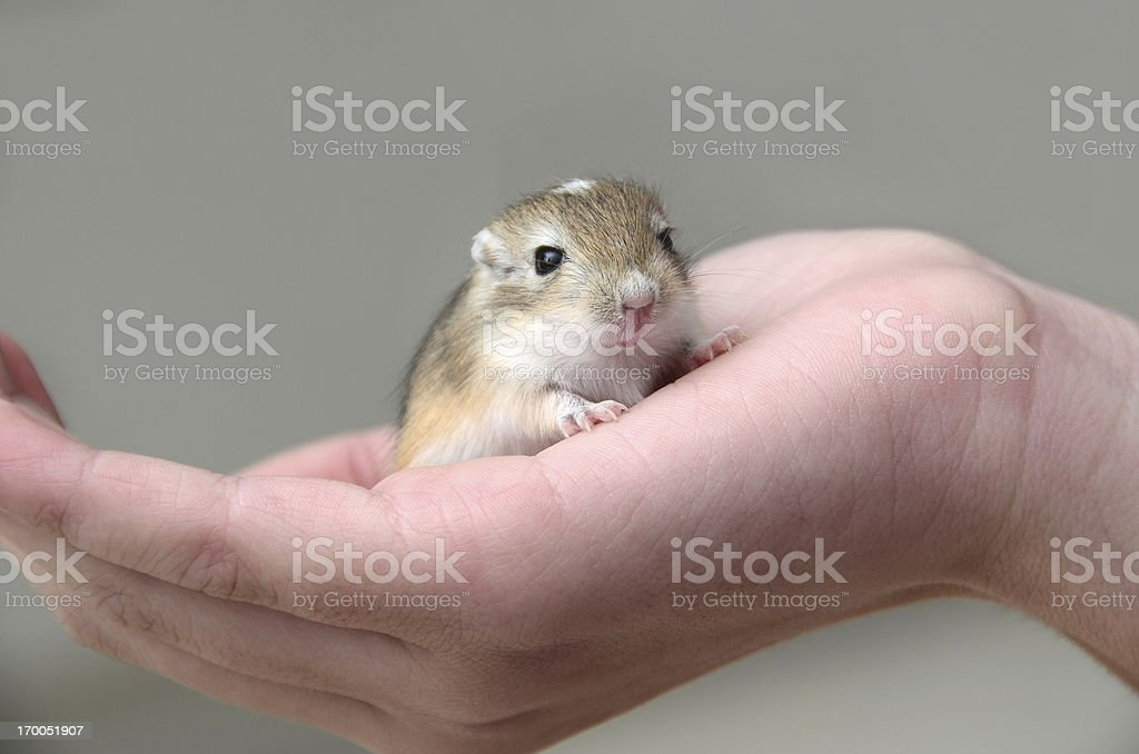 Baby Gerbil in Child's Hand stock photo
