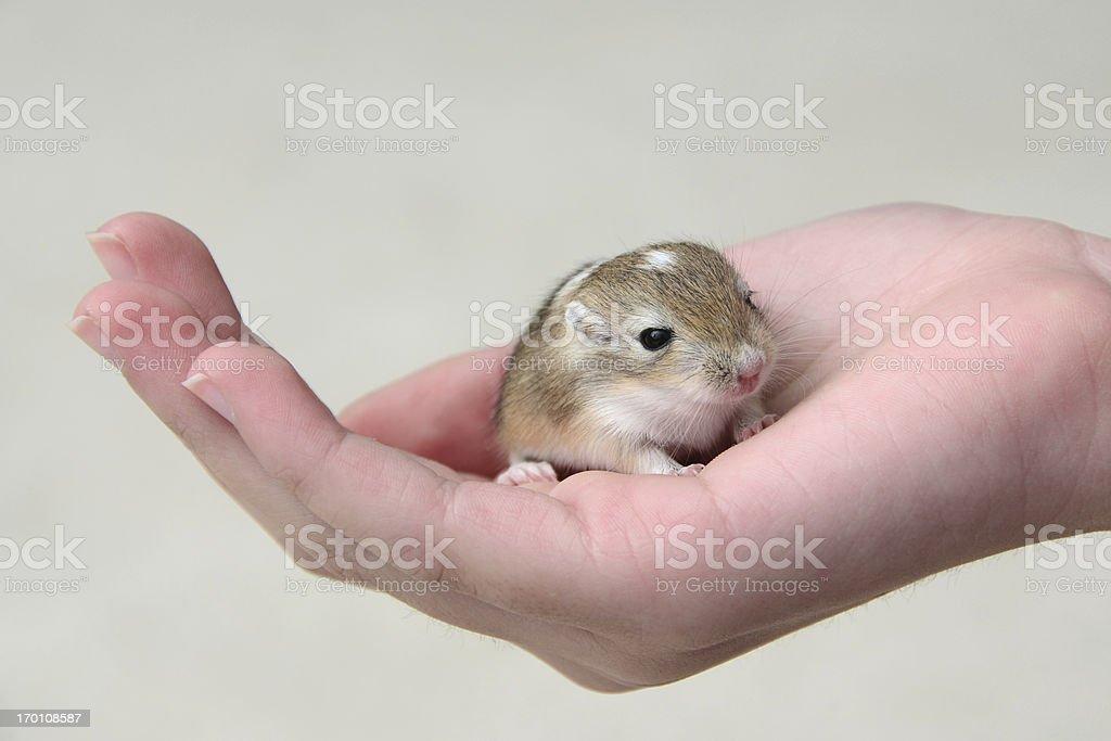 Baby Gerbil in Child's Hand stock photo