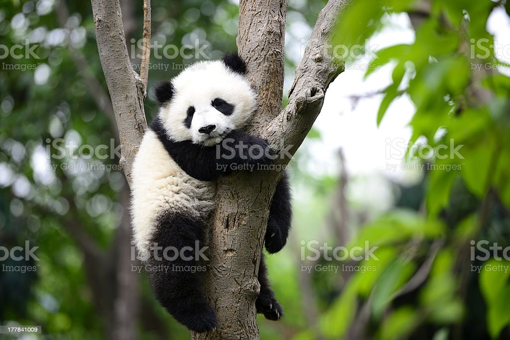 Baby giant panda on the tree stock photo