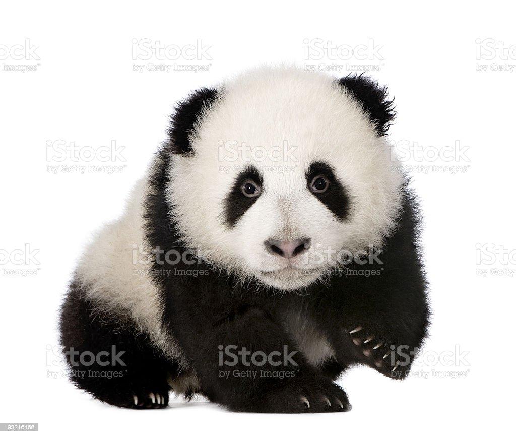 A baby giant pandas photo on a white background royalty-free stock photo
