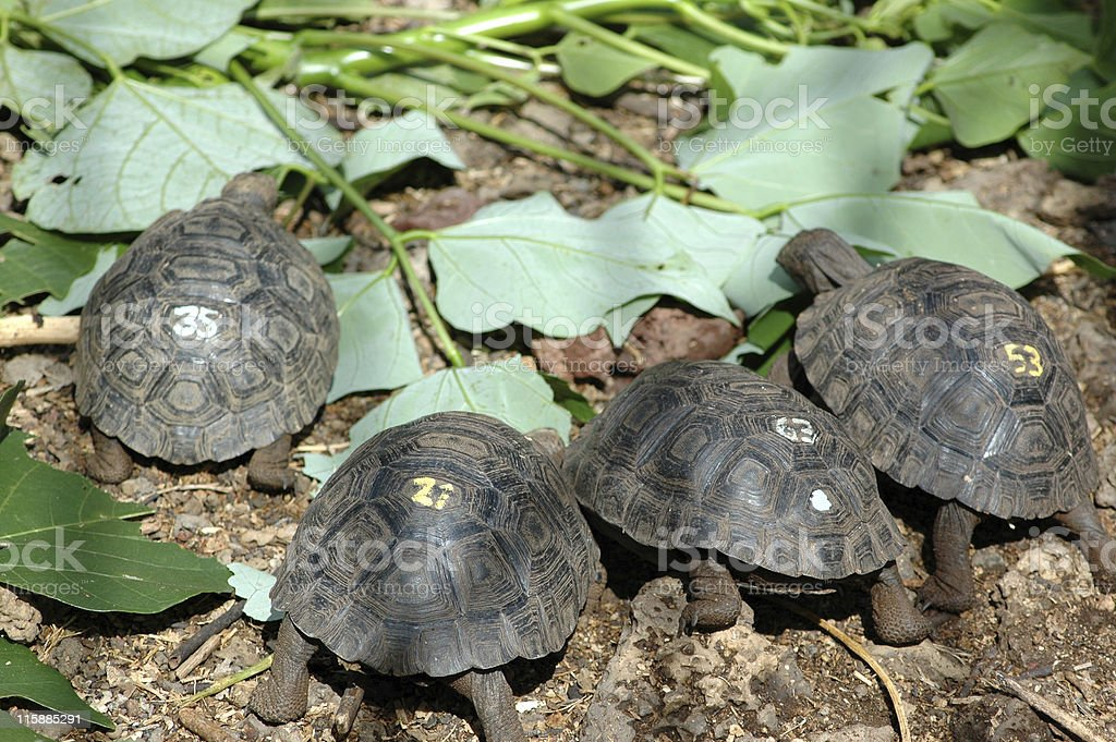 baby giant tortoises, Geochelone elephantopus stock photo