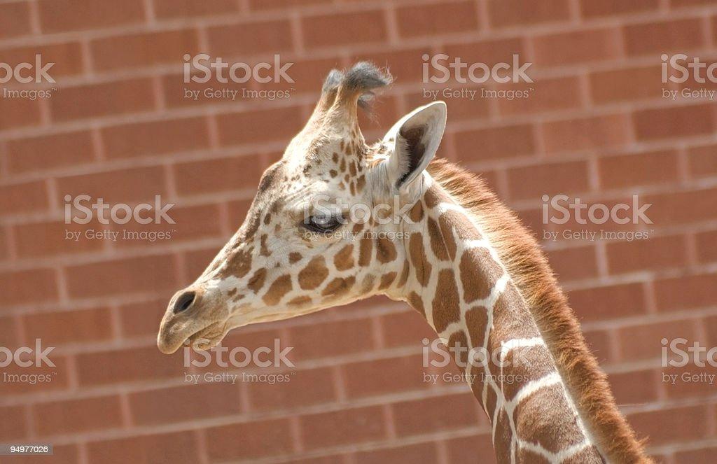 Baby Giraffe Against Red Brick Background stock photo