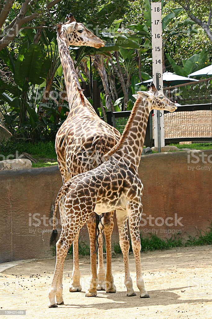Baby giraffe and its mom royalty-free stock photo