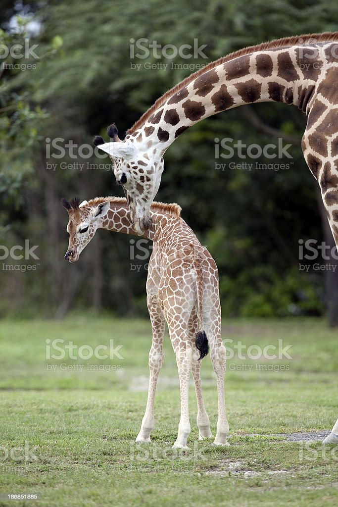 Baby Giraffe and Mother royalty-free stock photo