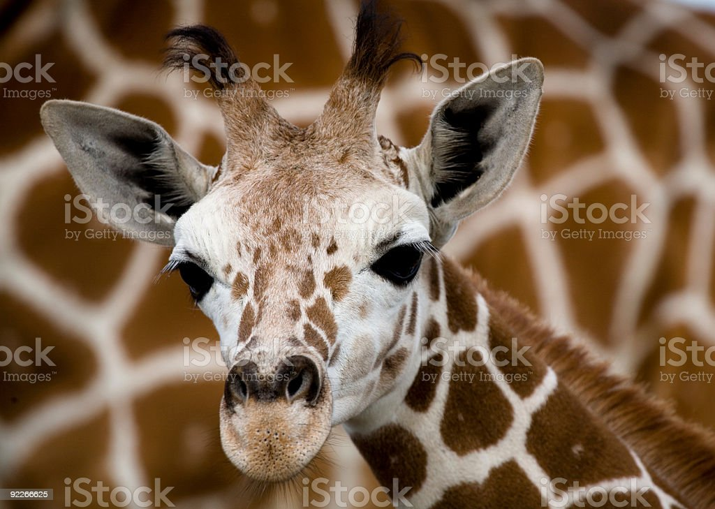 Baby Giraffe in Front of Mother royalty-free stock photo