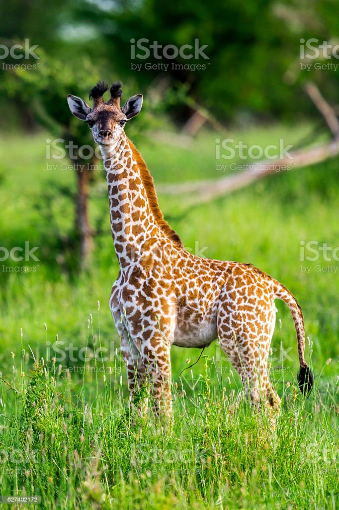 Baby giraffe like a toy with umbilical cord stock photo