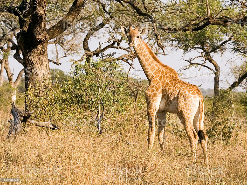 baby giraffe looking for mother stock photo