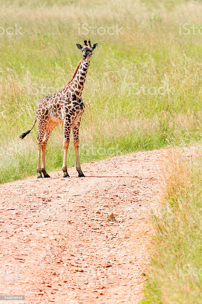 Baby Giraffe on the road stock photo