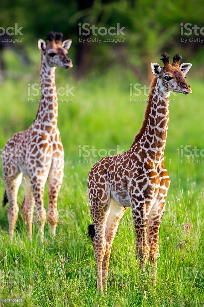 Baby giraffes like a toys with umbilical cord stock photo