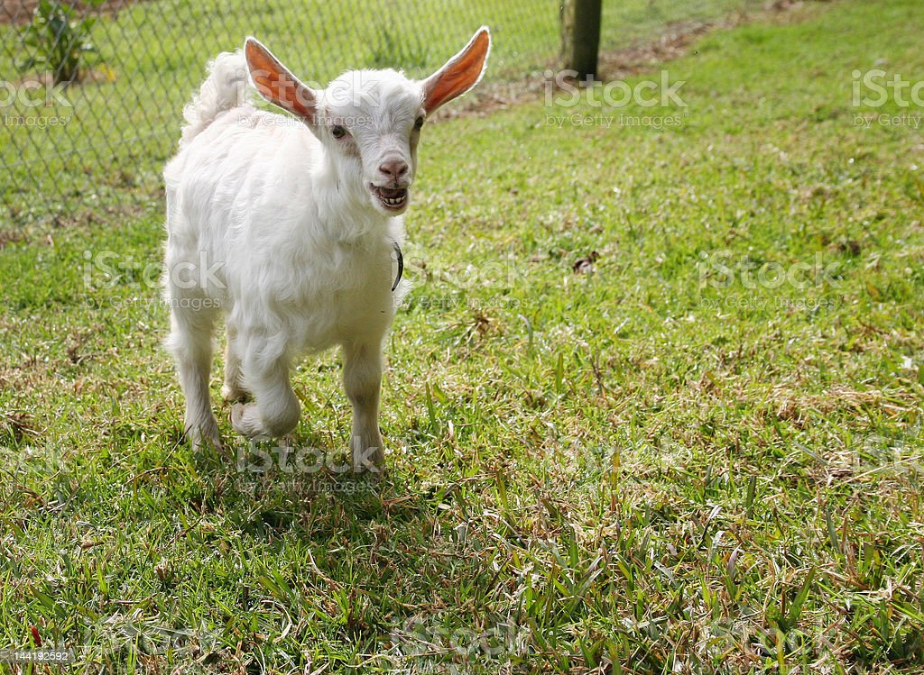 Baby goat calling Maaaa stock photo