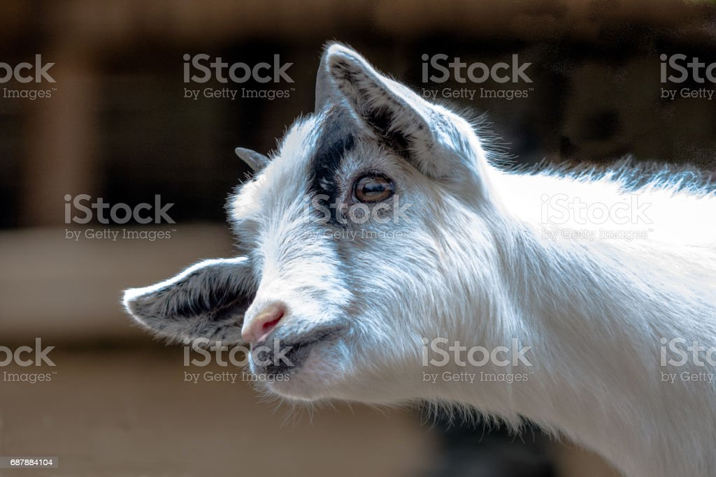 Baby goat head and neck stock photo