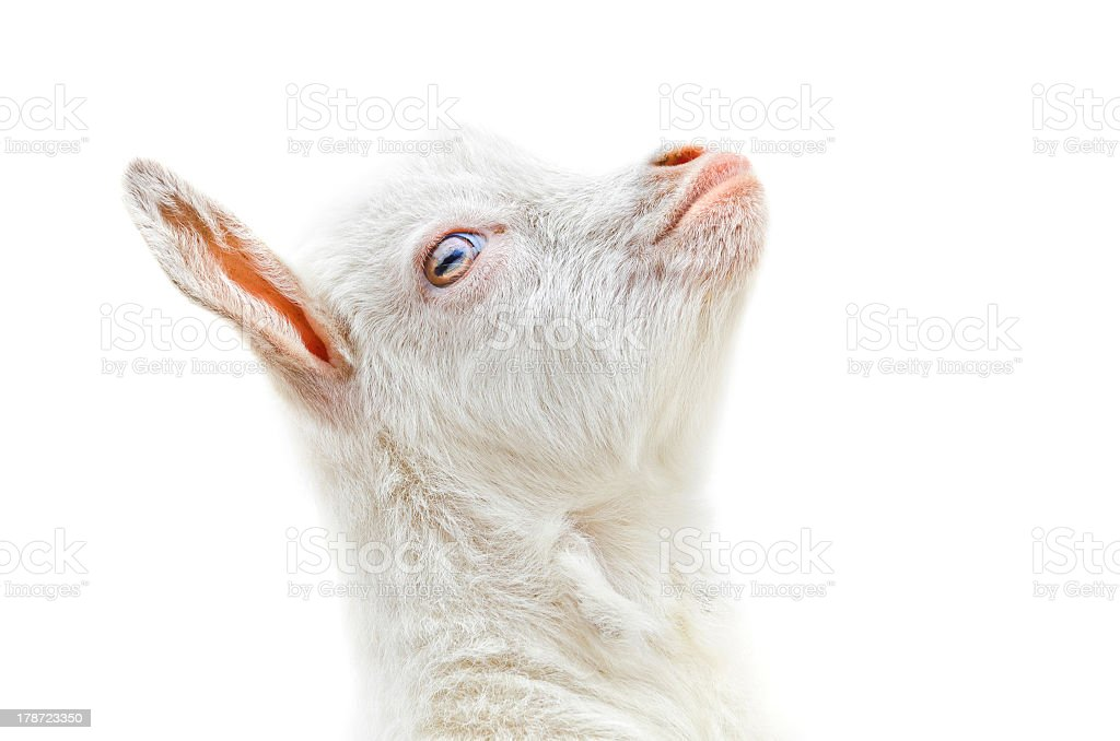 Baby goat head on a white background stock photo
