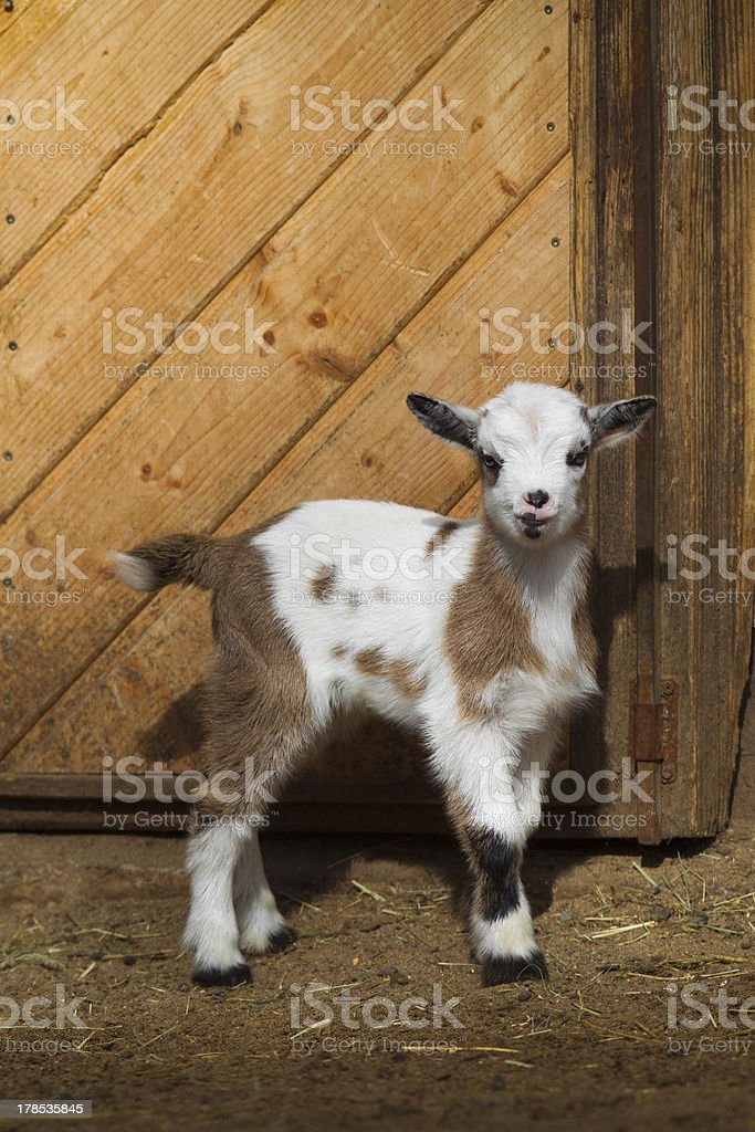 Baby goat royalty-free stock photo