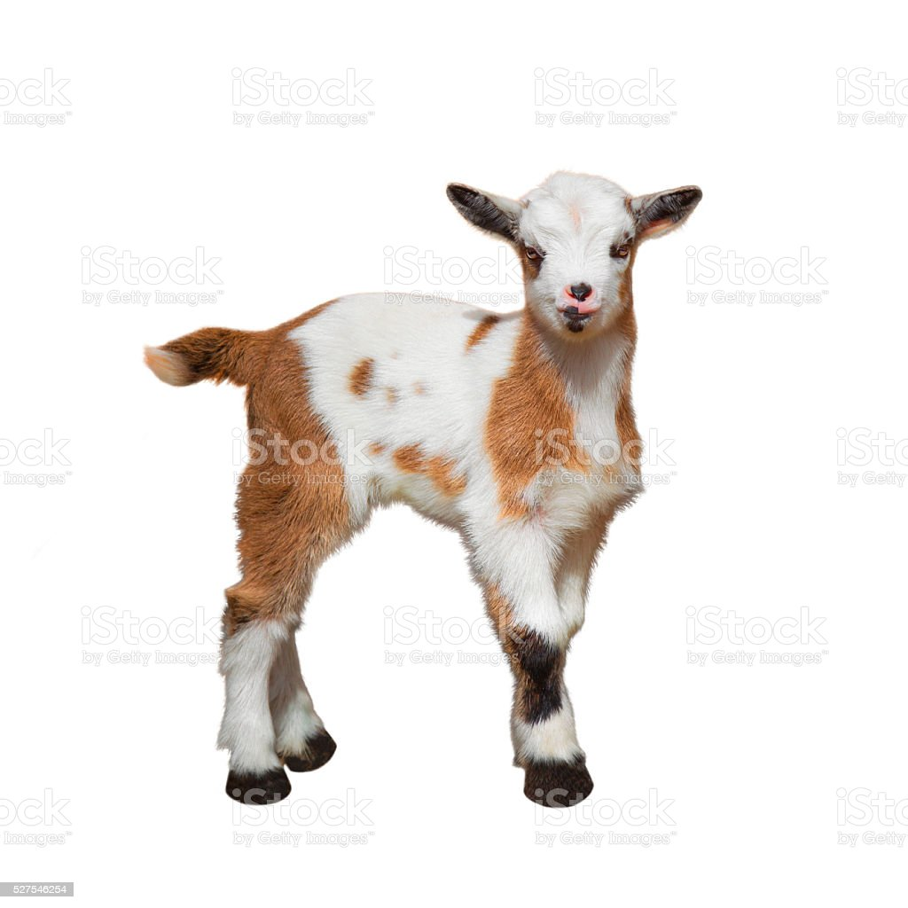 Baby goat stock photo
