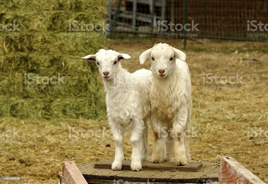 Bebé cabras foto de stock libre de derechos