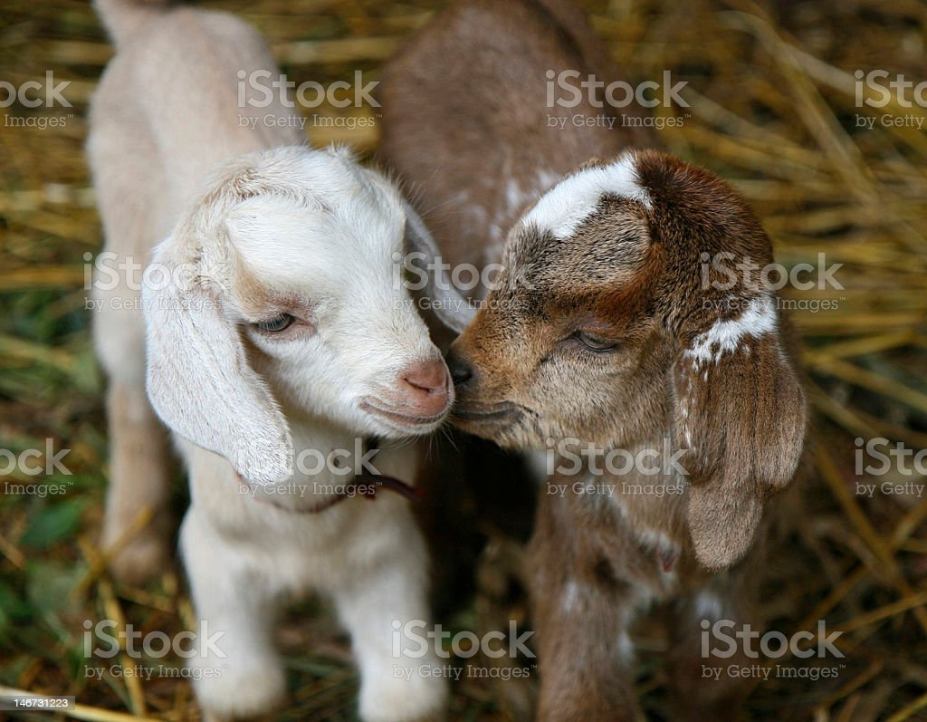Baby goats playing together in hay stock photo
