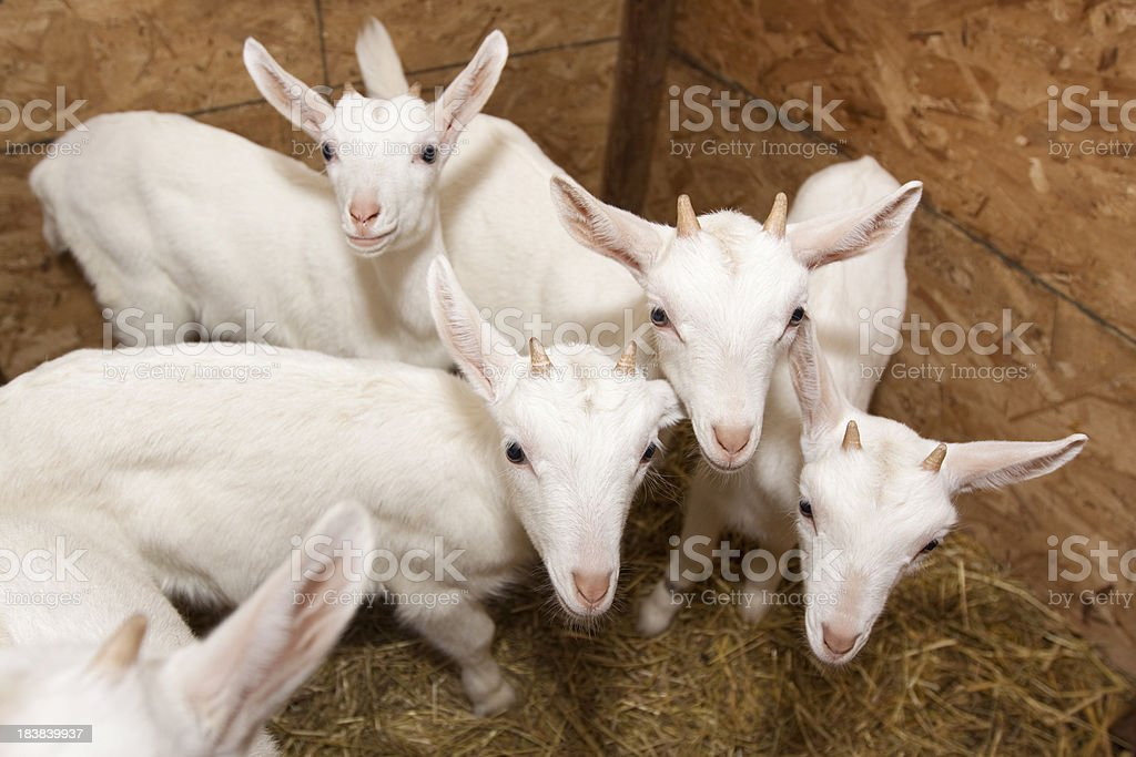 Baby Goats Together stock photo