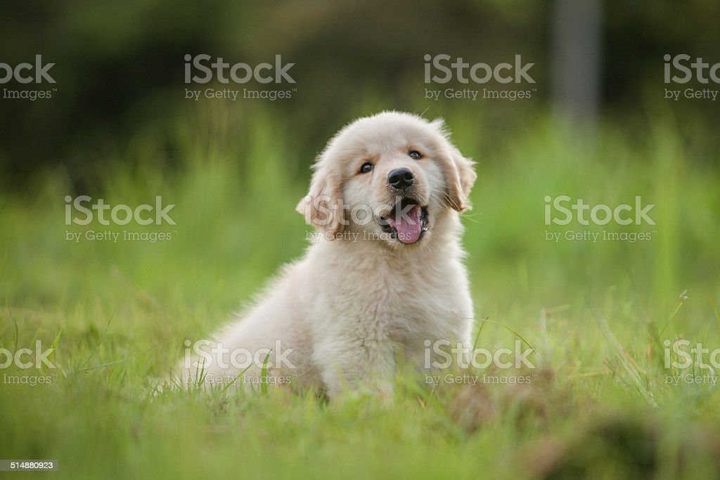 Baby Golden Retriever puppy in grass at home stock photo