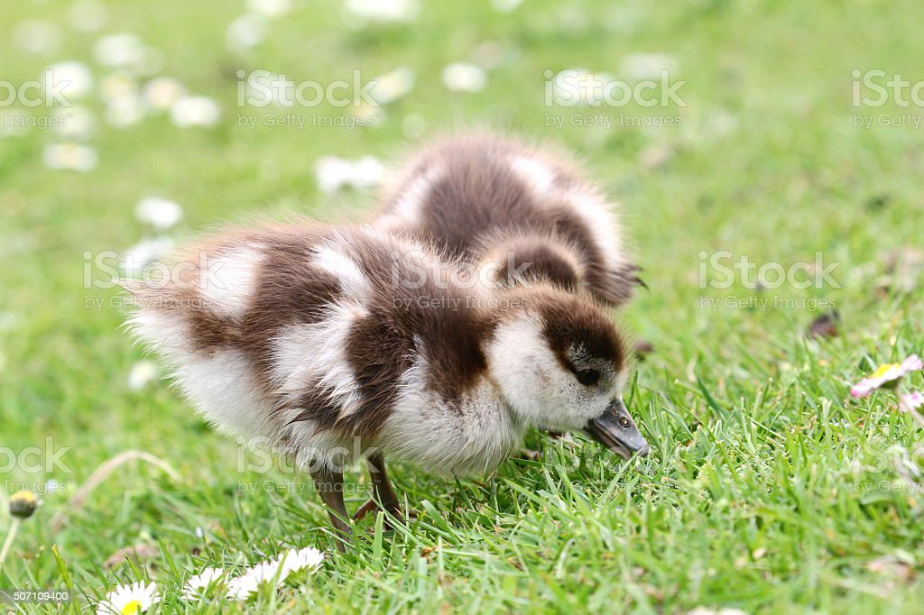 baby goose in meadow stock photo