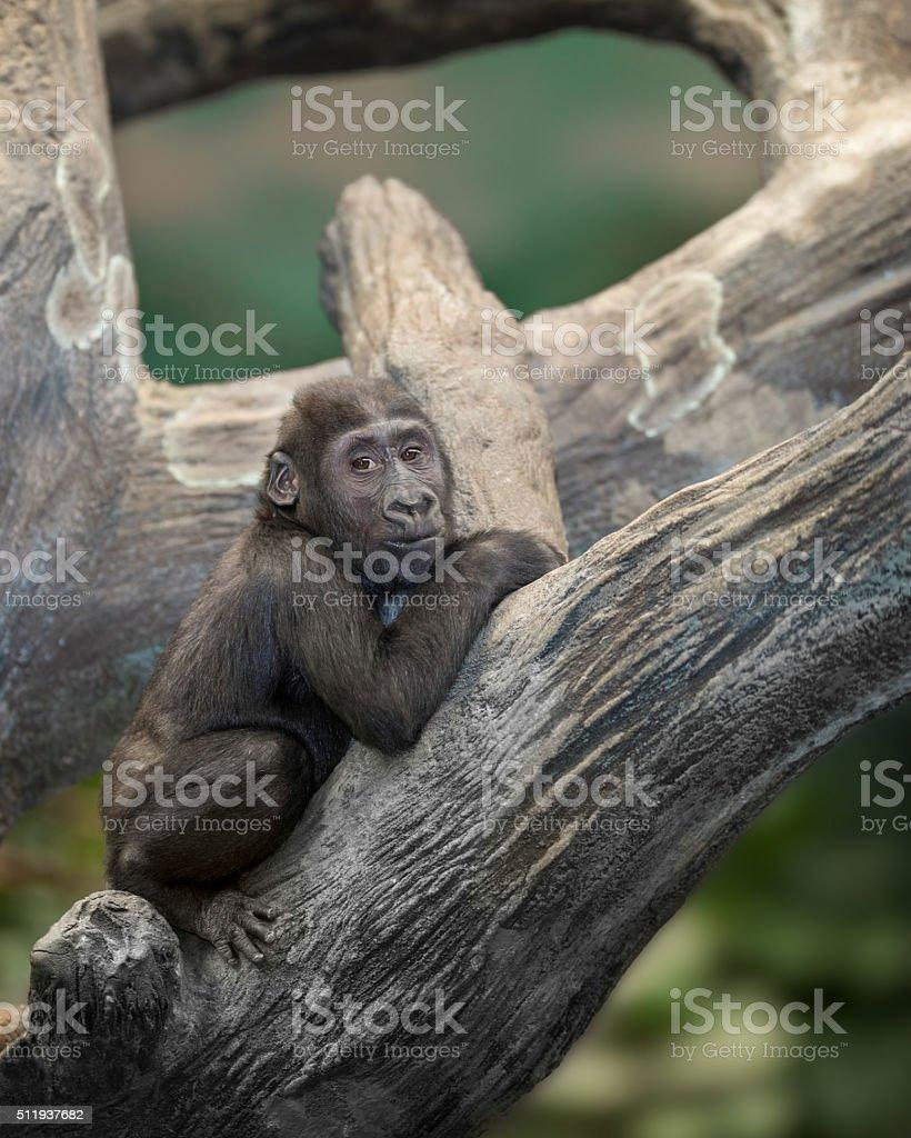 Baby Gorilla in the trees stock photo