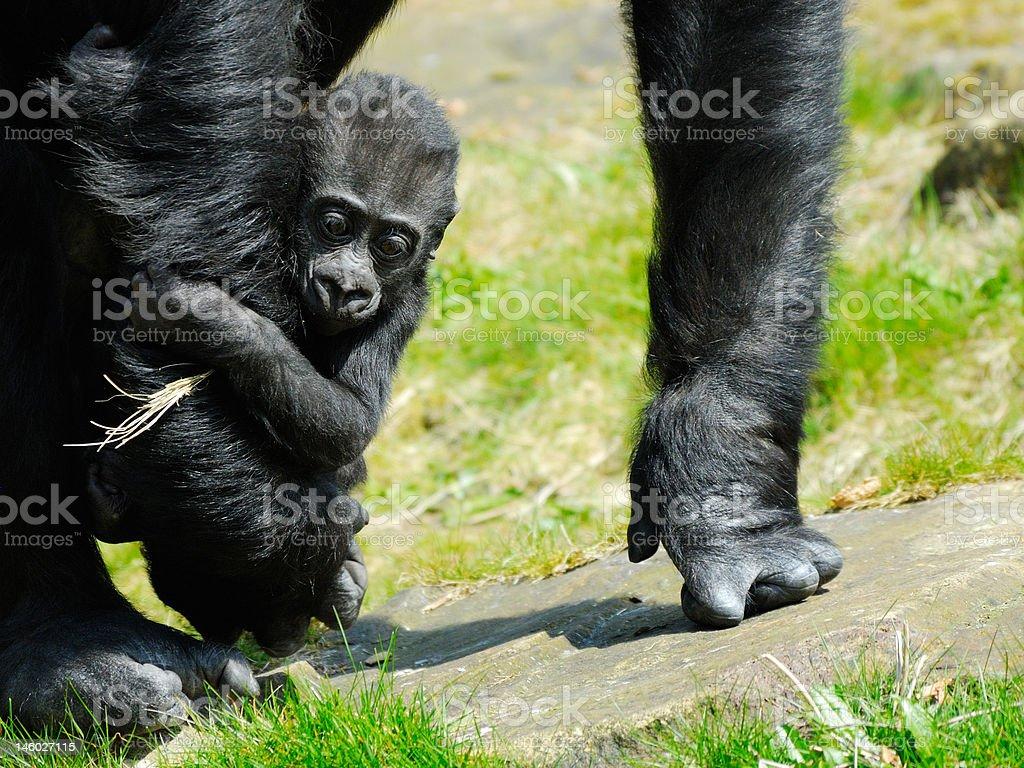 baby gorilla royalty-free stock photo