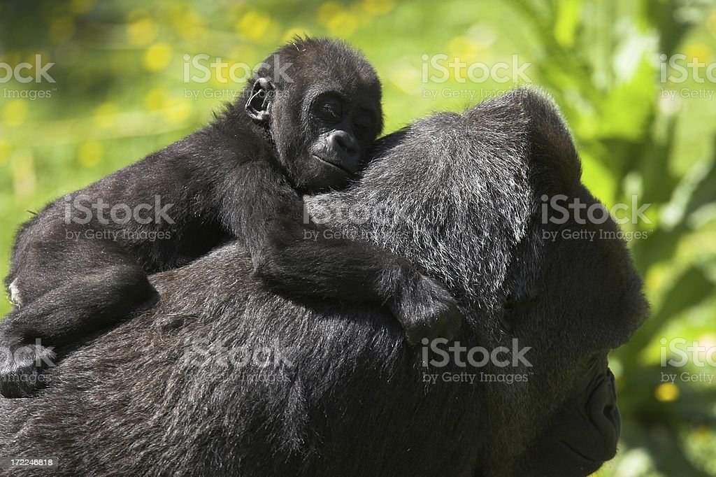 Baby gorilla royalty-free stock photo