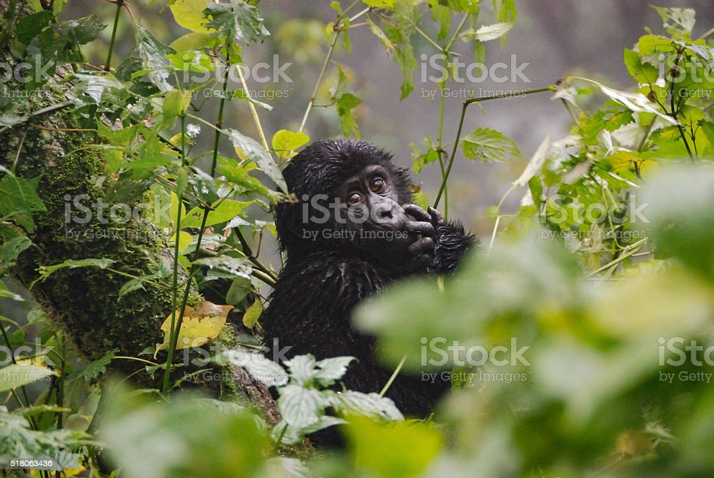 Baby Gorilla stock photo