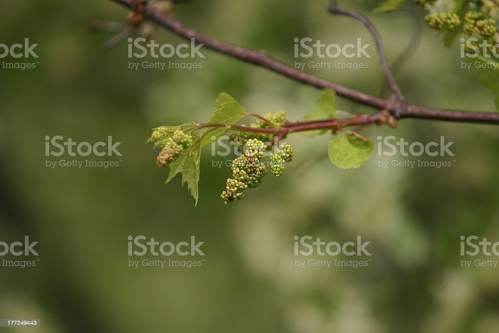 Baby Grapes II royalty-free stock photo