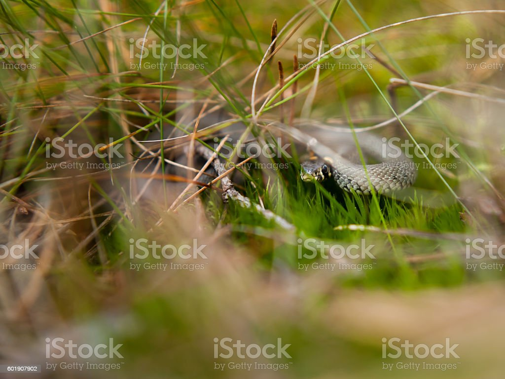 baby grass snake stock photo