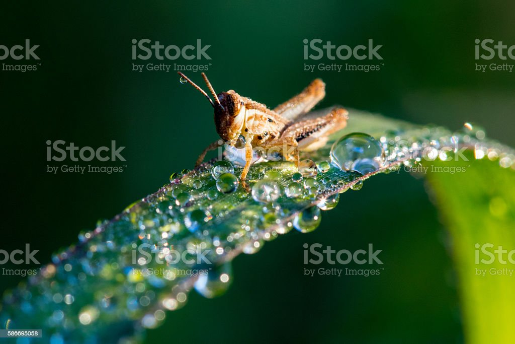 Baby Grasshopper stock photo