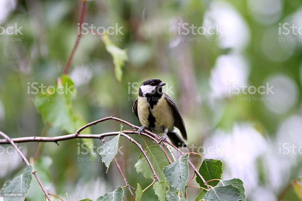 Baby great tit aka parus major learn to fly springtime stock photo