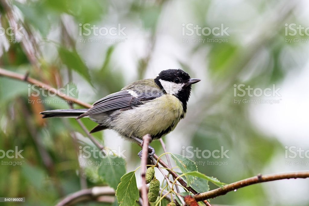 Baby great titmouse bird sitting on a branch stock photo