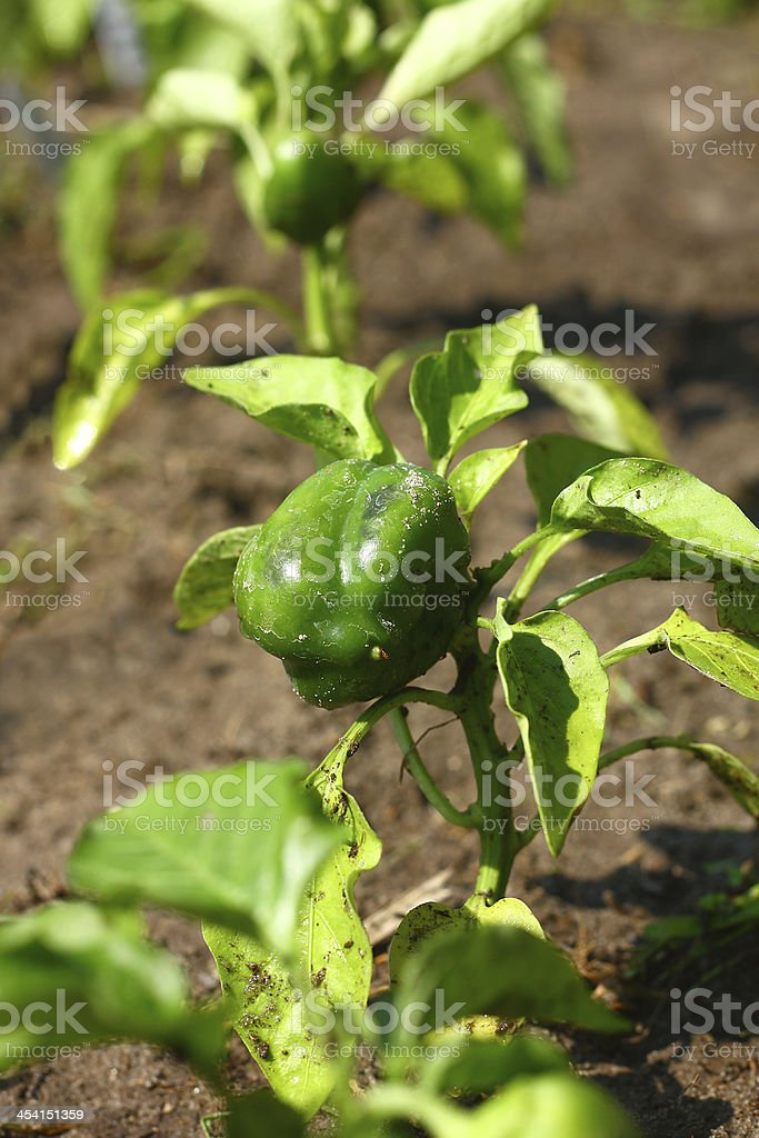 Baby Green Bell Pepper Plant royalty-free stock photo