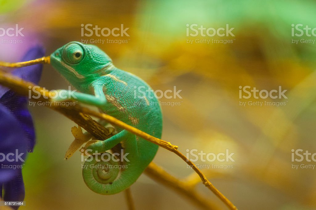 Baby green chameleon looks in camera stock photo