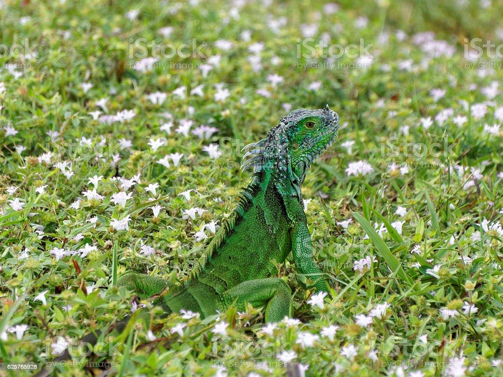 Baby Green Iguana Sitting Up in Grass stock photo
