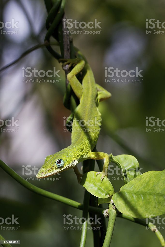 baby green lizard on a vine stock photo