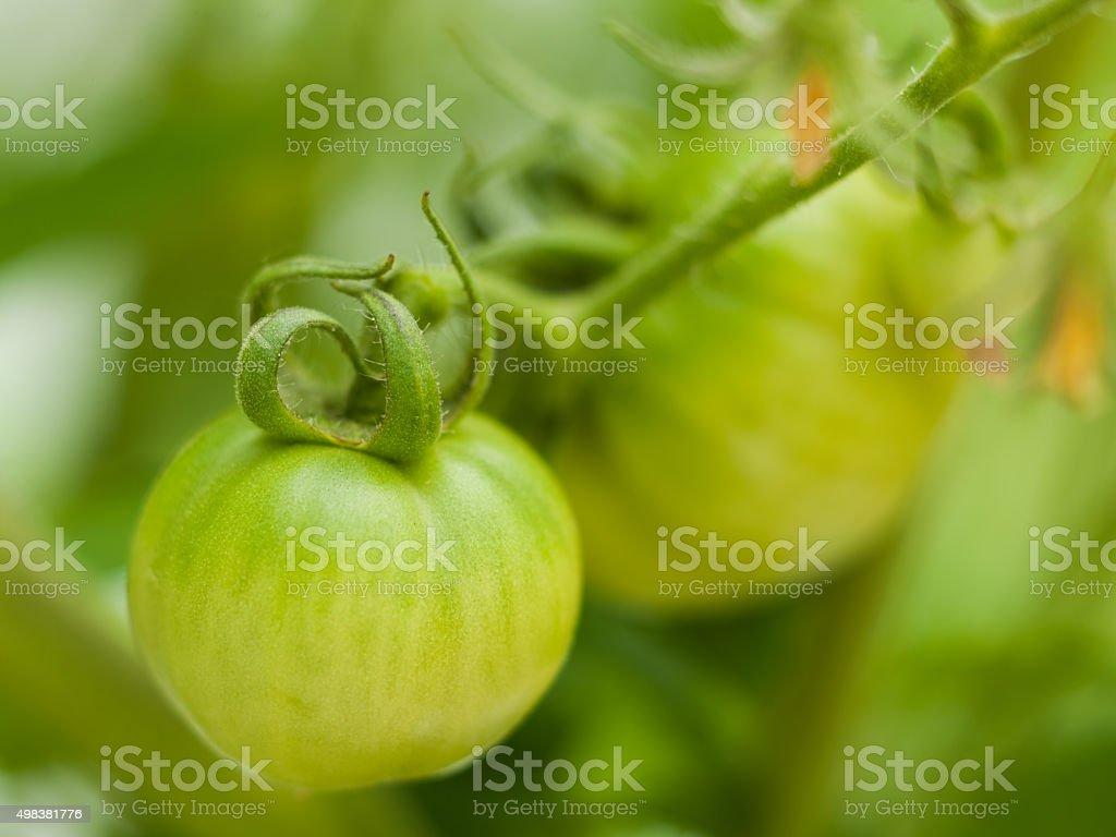 Baby green tomato on plant stock photo