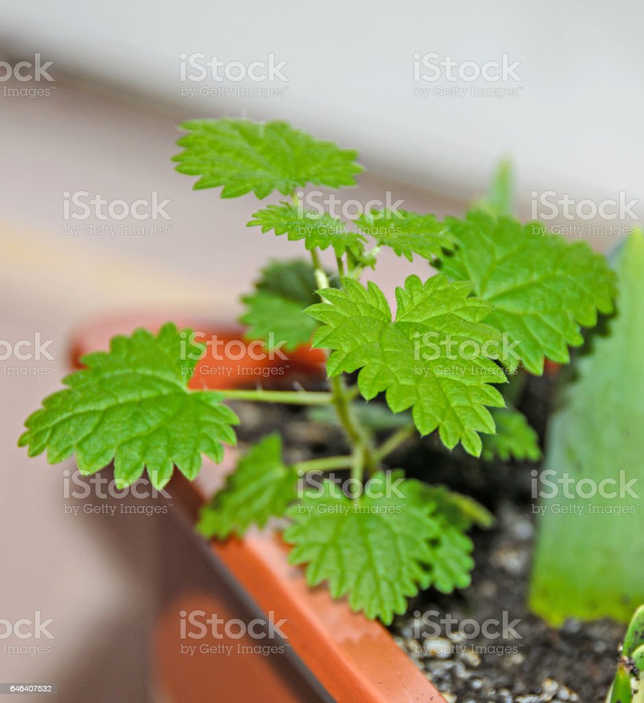 Baby green urtica dioica, common nettle, stinging, close up stock photo