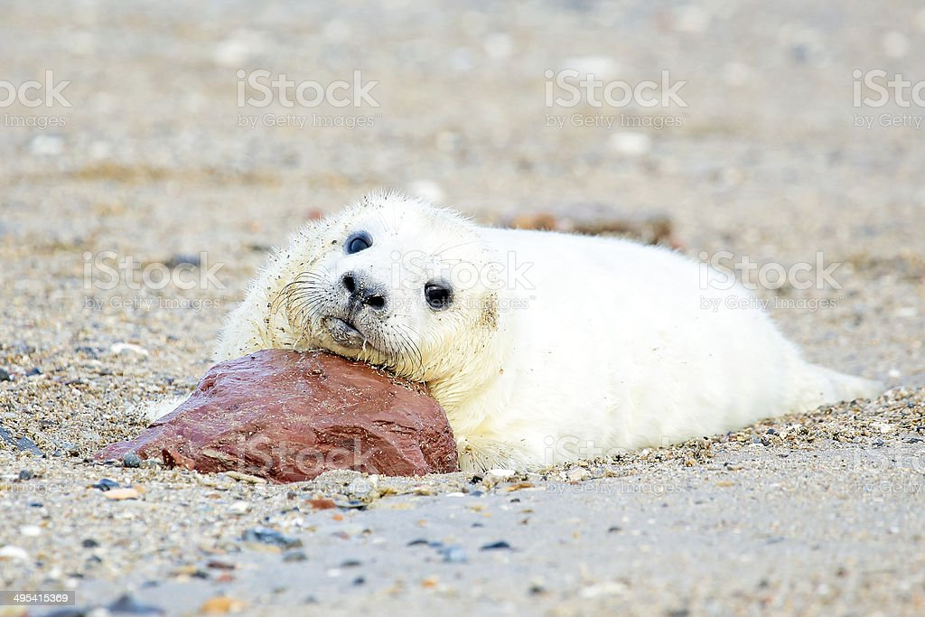 Baby Grey Seal (Halichoerus grypus) relaxing on the beach royalty-free stock photo