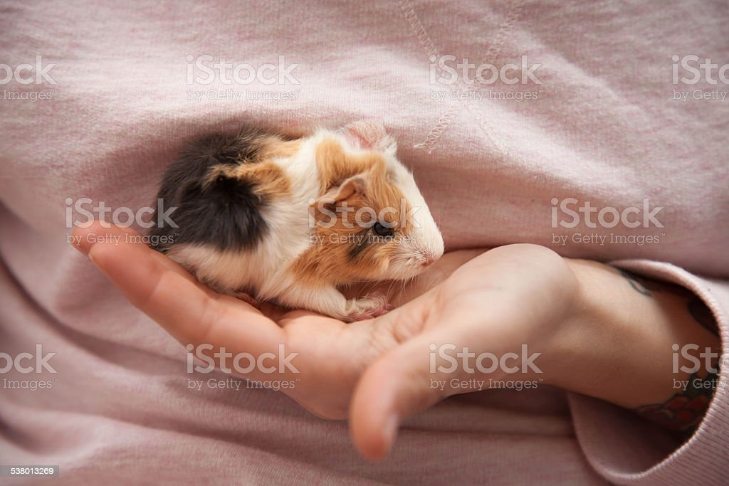 Baby guinea pig in hand stock photo