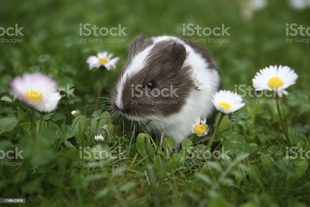 A baby guinea pig sits alone in the grass  stock photo