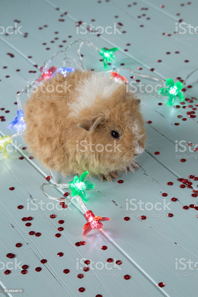 Baby Guinea Pig with Party Lights on Antique Boards stock photo
