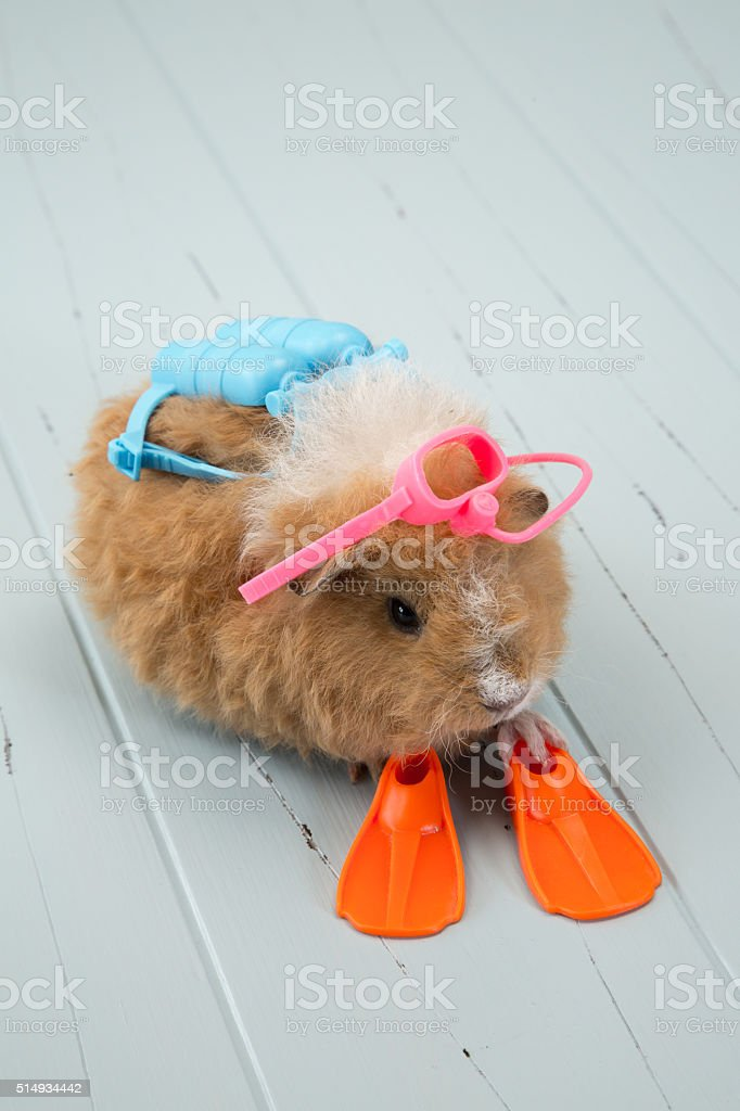 Baby Guinea Pig with Scuba Gear on Antique Boards stock photo