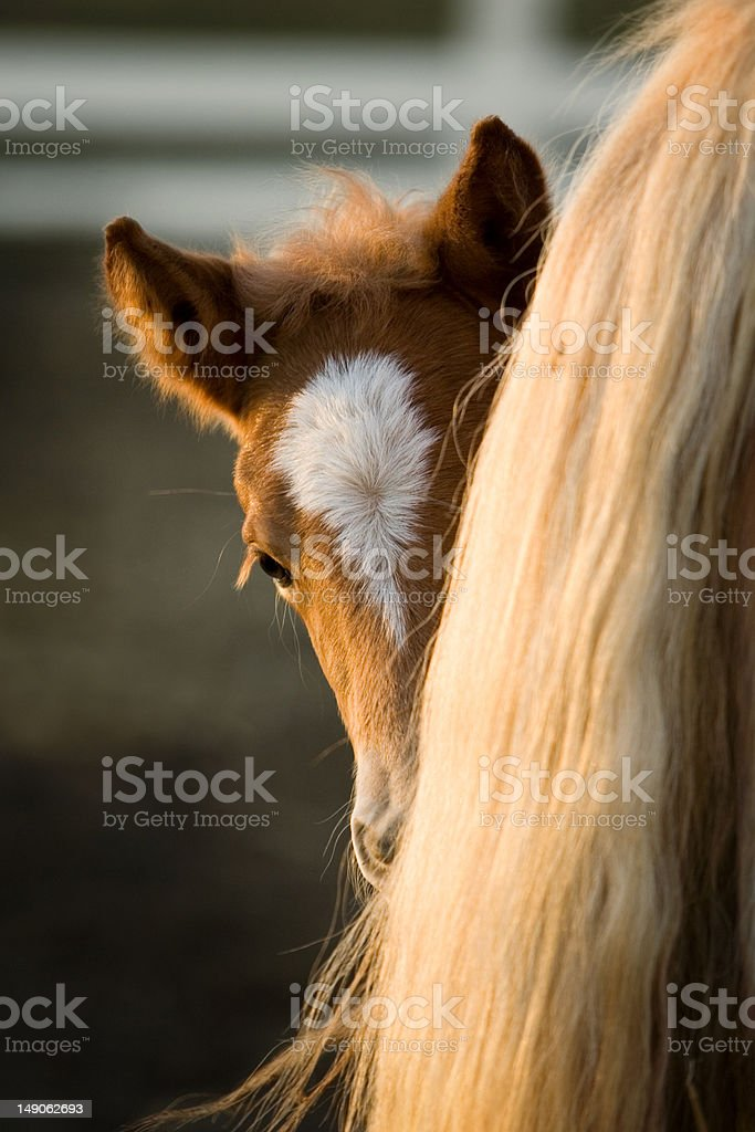 Baby Haflinger peering from behind mom's tail stock photo